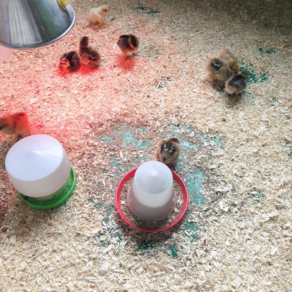 Baby chicks at the secret animal garden.