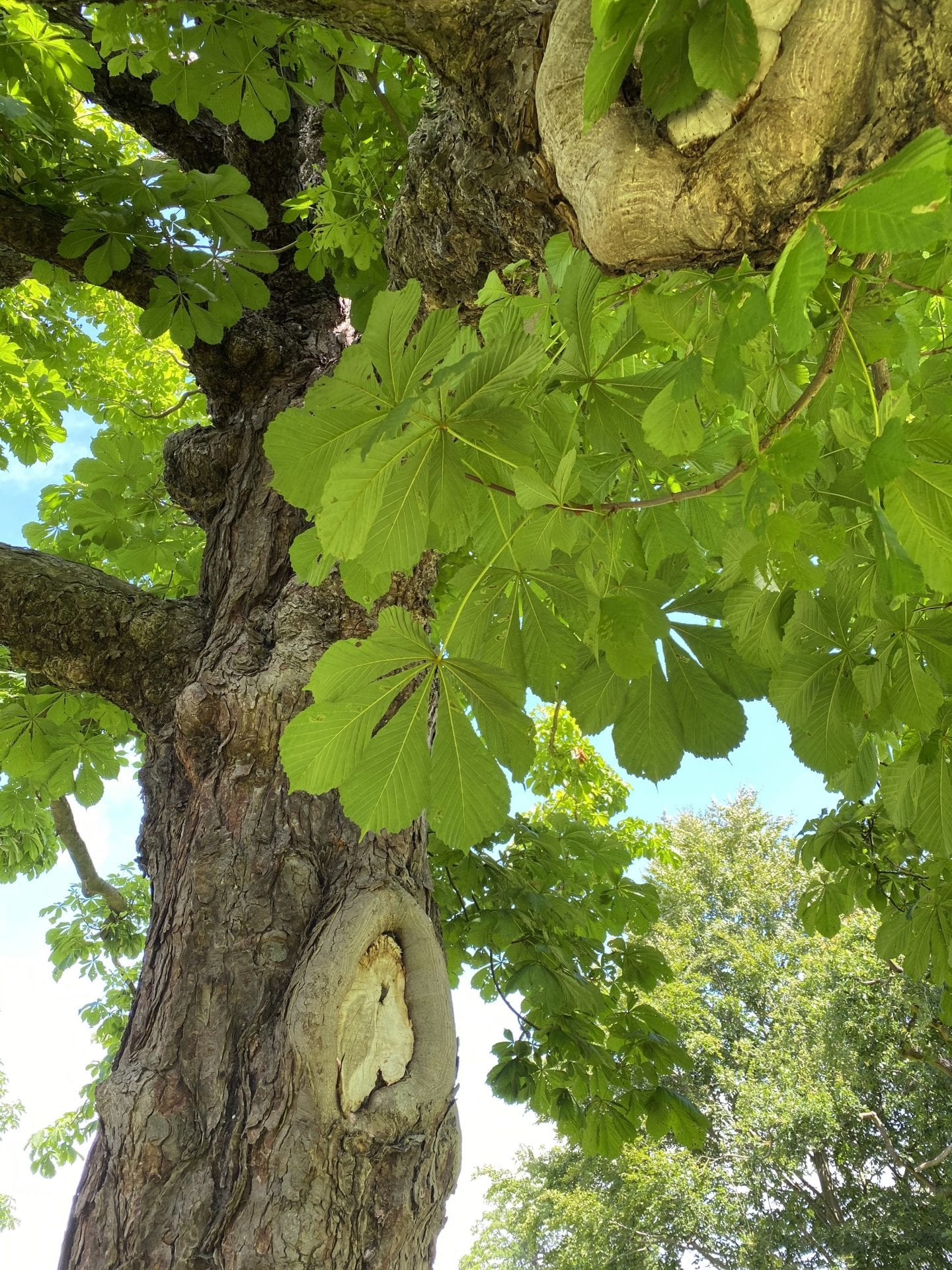 a beautiful Horse Chestnut tree